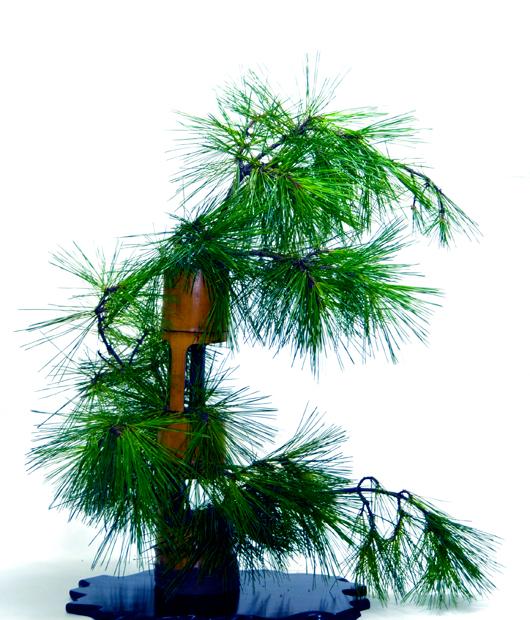 盆景 盆栽 树 植物 棕榈树 530_620