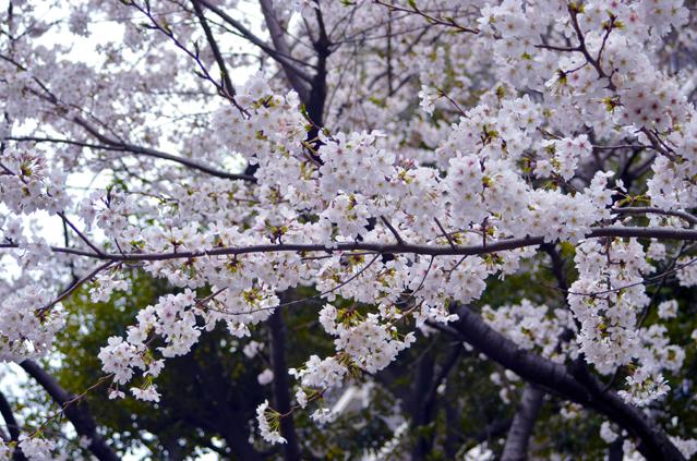 人们在樱花树下的心情自然也很美~