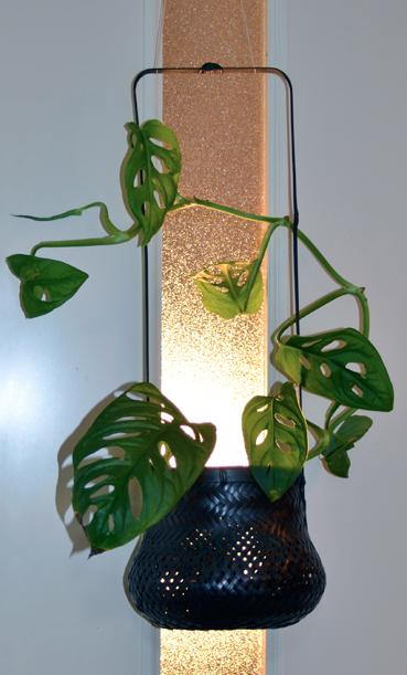 竹篮草1.jpg